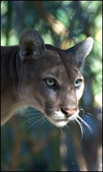 Photograph of the head of a Florida panther