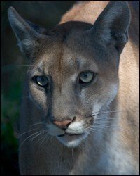 Photograph of Florida panther