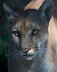 panther characteristics