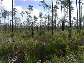 Everglades pinelands