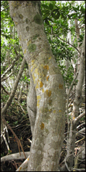 Several species of crustose lichen growing on the bark of a red mangrove tree