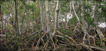 Red mangrove habitat also supports a variety of crustose lichens.