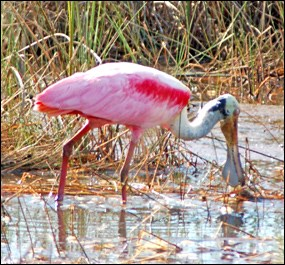 Roseate Spoonbill foraging for food