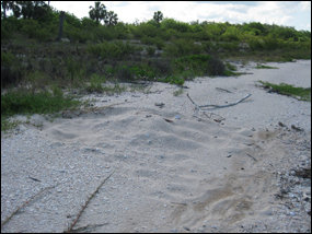 Sea turtle nest on Cape Sable