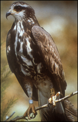 Photograph of Snail Kite