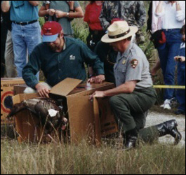 Photograph showing the release of a Wild Turkey into Everglades National Park