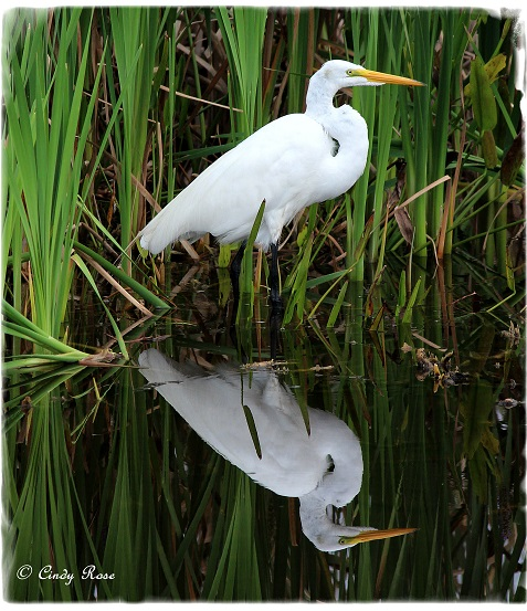 Egret Reflection By Cindy Rose - Coe VC Gallery January 2015