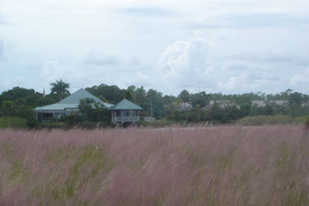 Muhly grass bloom