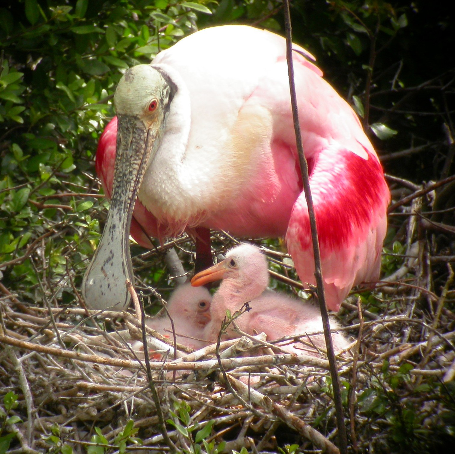 Roseate Spoonbill in nest with chicks.