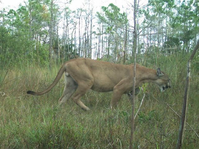 Florida S Big Cat