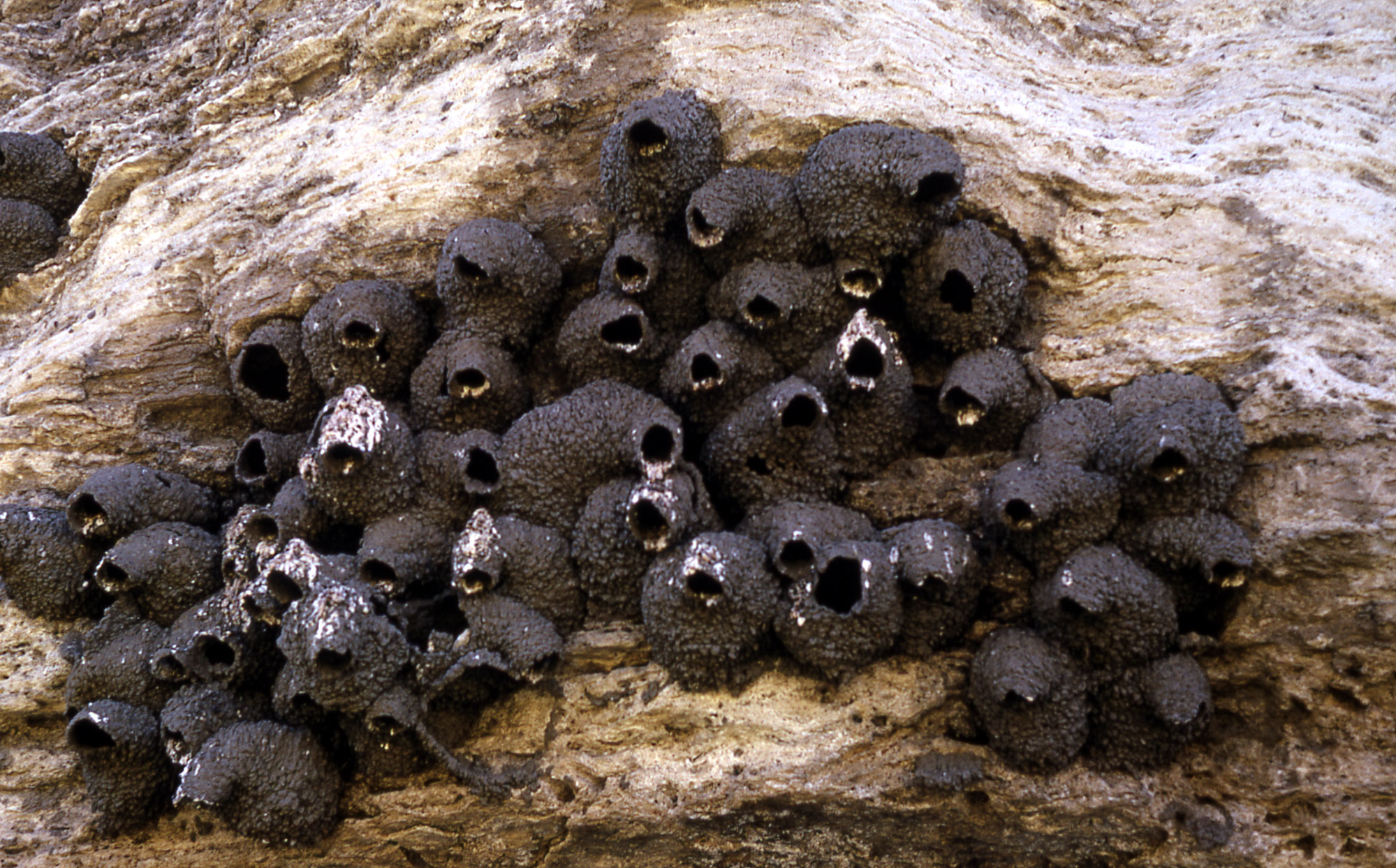 cliff swallow nests stan canter 1966