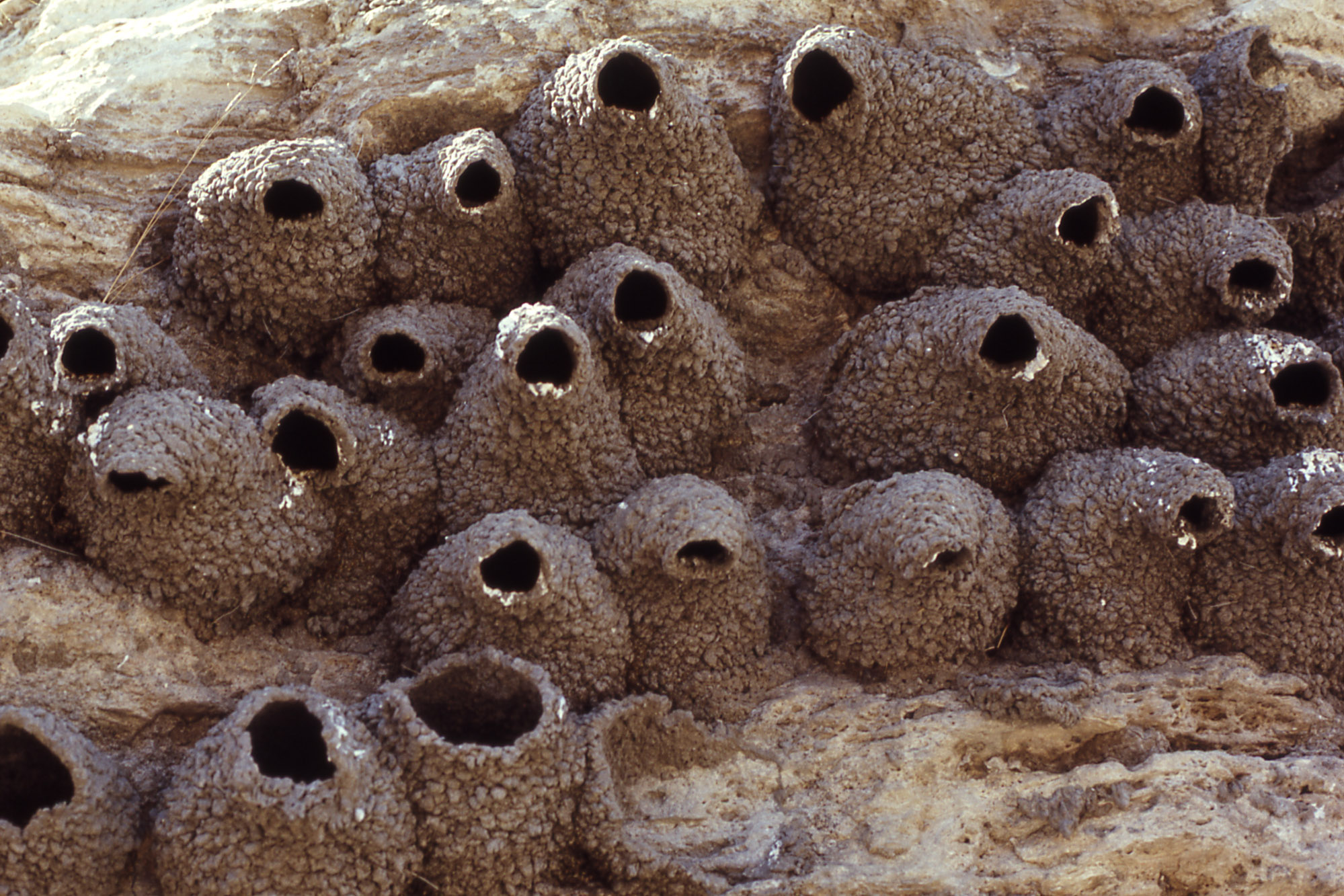 cliff swallow nests photographer unknown 1972