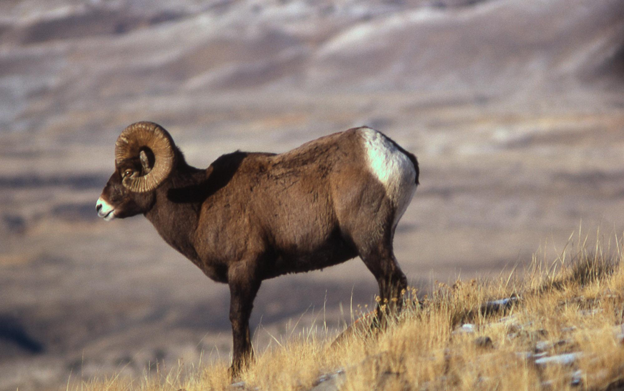 Bighorn Sheep ram (National Park Service, William S Keller, 1966)