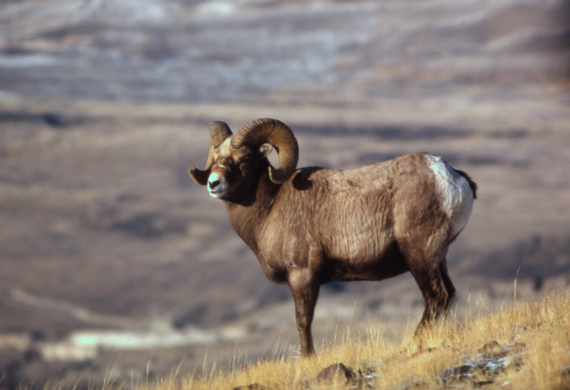 Ram Big Horn >> Yellowstone's Photo Collection