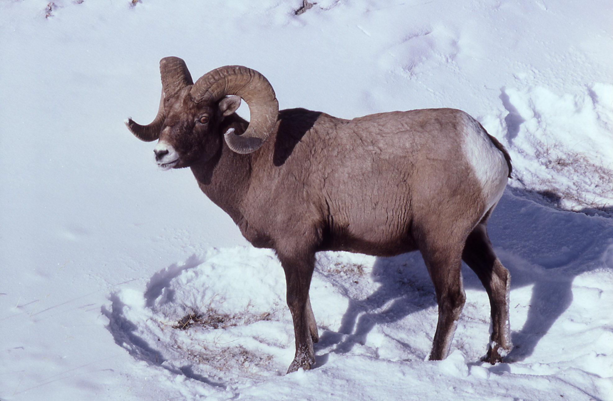 Goat Sheep Ram The Altai Mountain Goat The Goat Guide