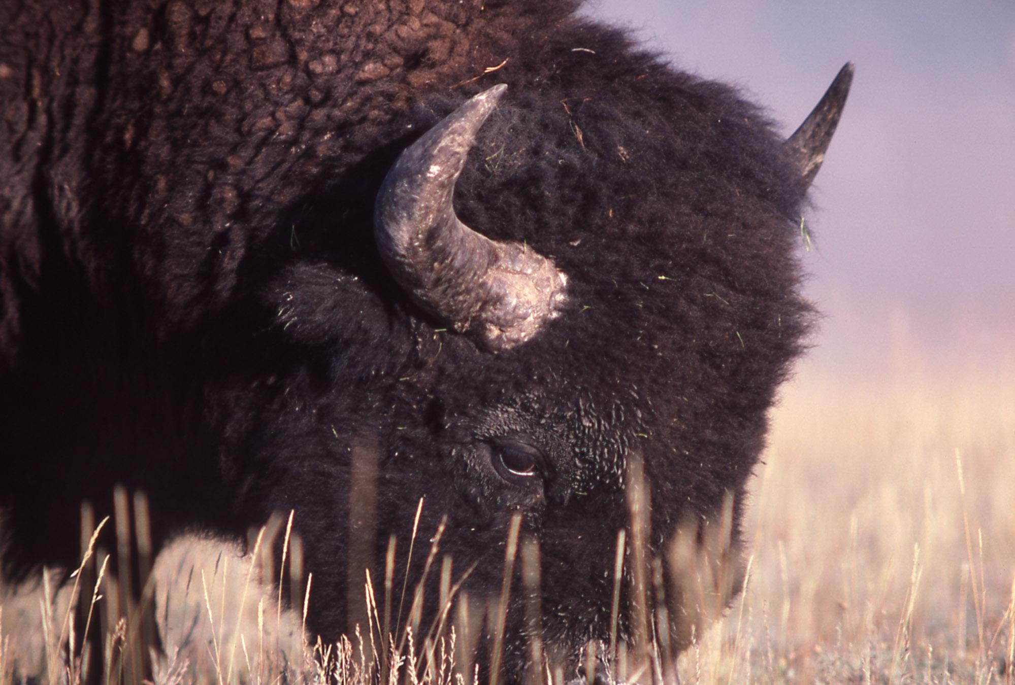 Close up of bison grazing; J Schmidt; 1977 (National Park Service)
