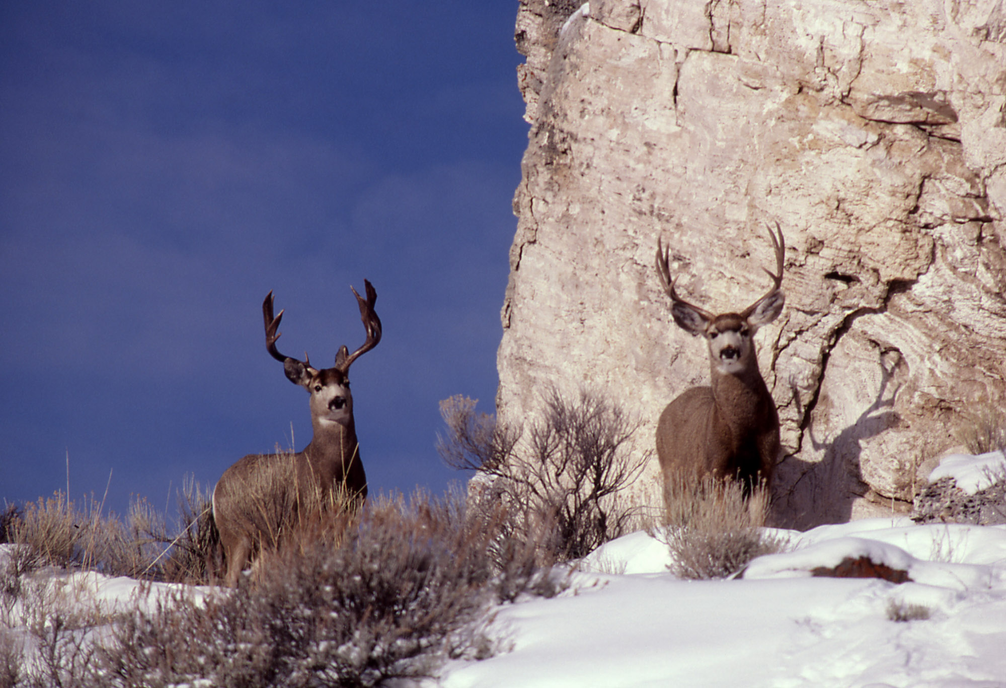 the buck in the snow poetry Poetry friday: winter in poems & paintings millay's a buck in the snow poems-but not the other one you mentioned in your poetry friday.