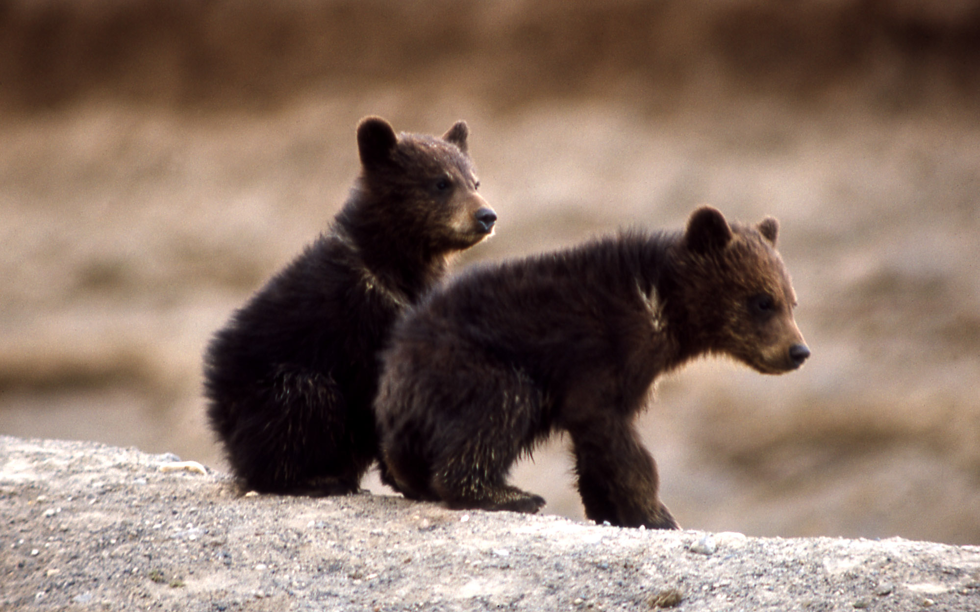 Grizzly bears cubs - photo#7