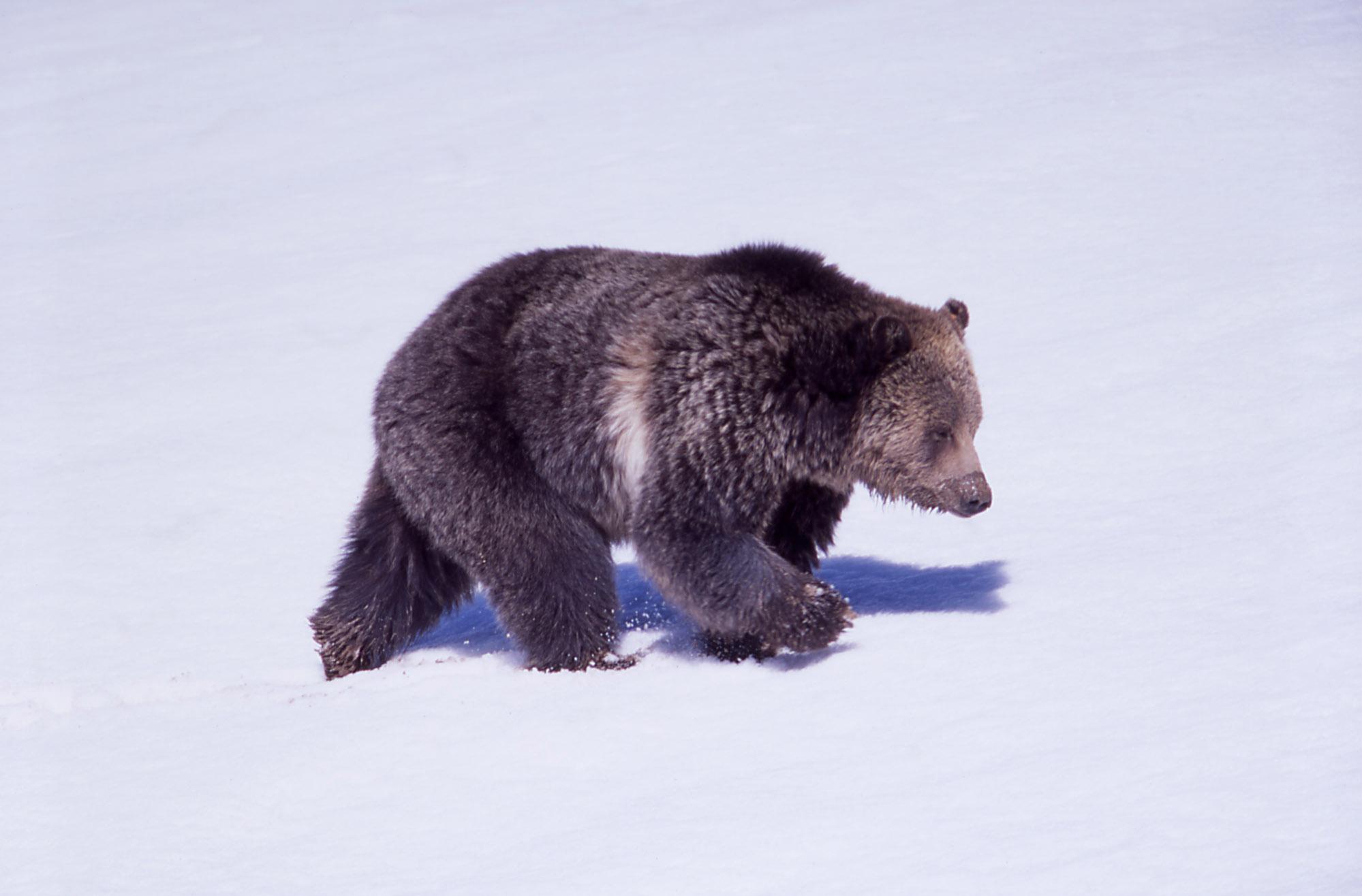 خرس در برف