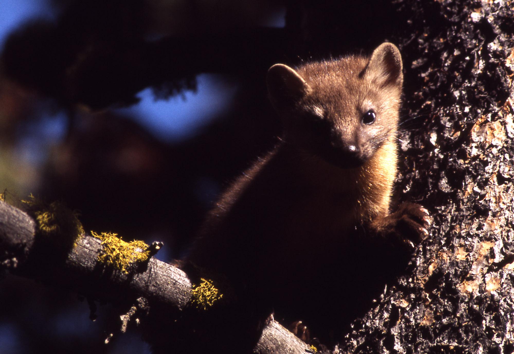 Pictures of a pine marten Northland Paradise Lodge - Temagami, Ontario
