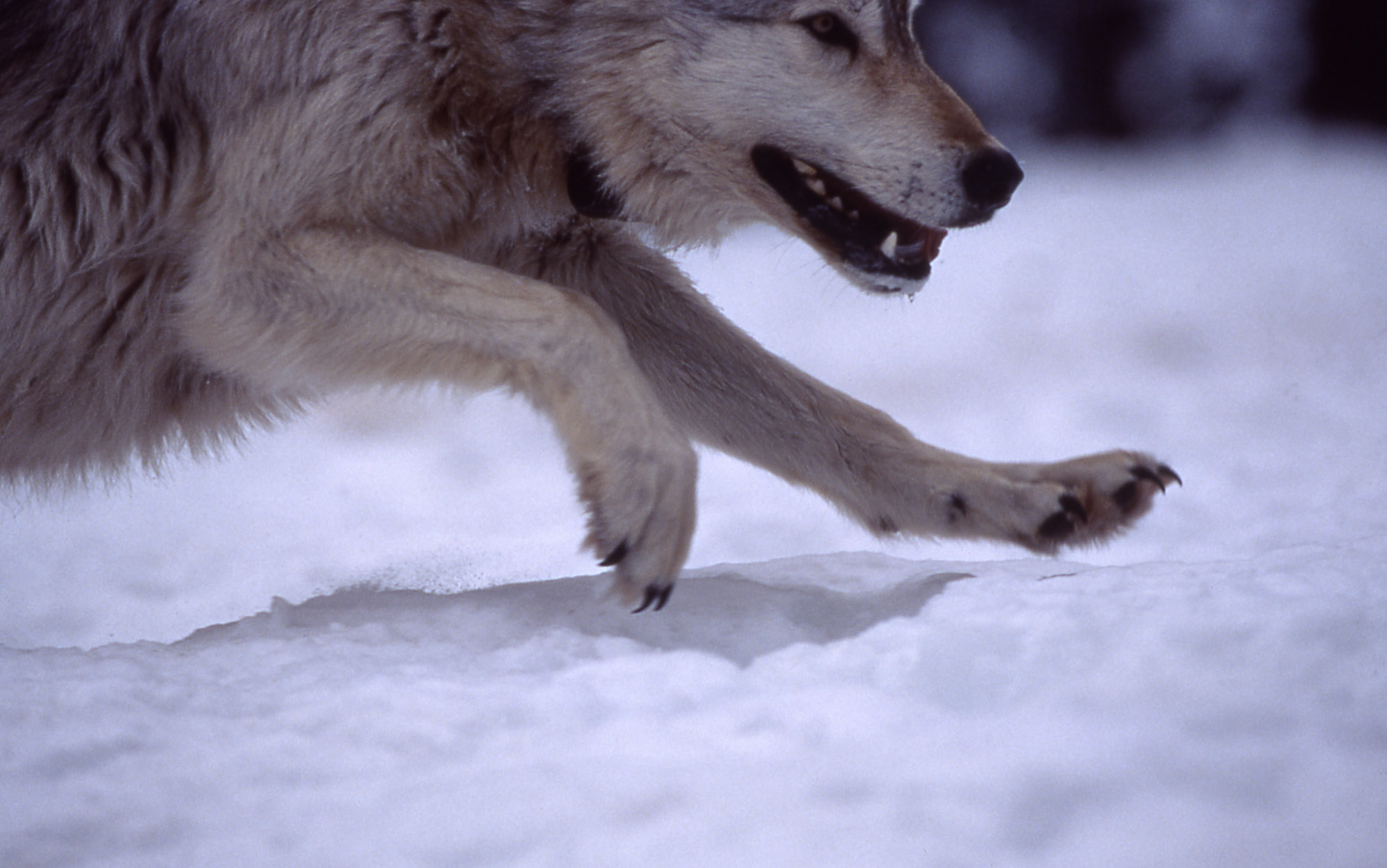 Member of the Rose Creek Pack (Barry O'Neil, NPS 1995)