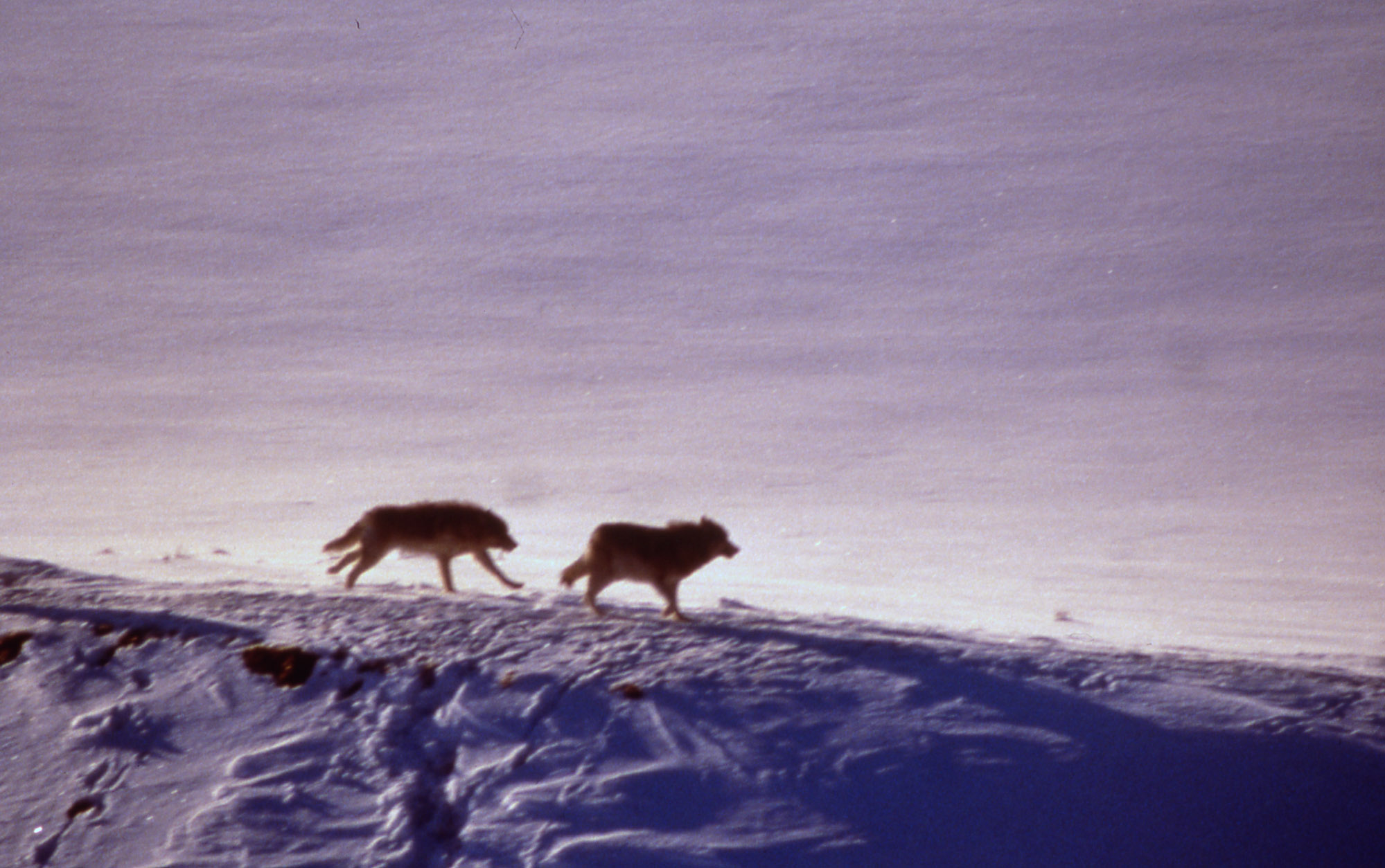 Aerial of the Crystal Creek wolf pack, Yellowstone National Park (National Park Service)