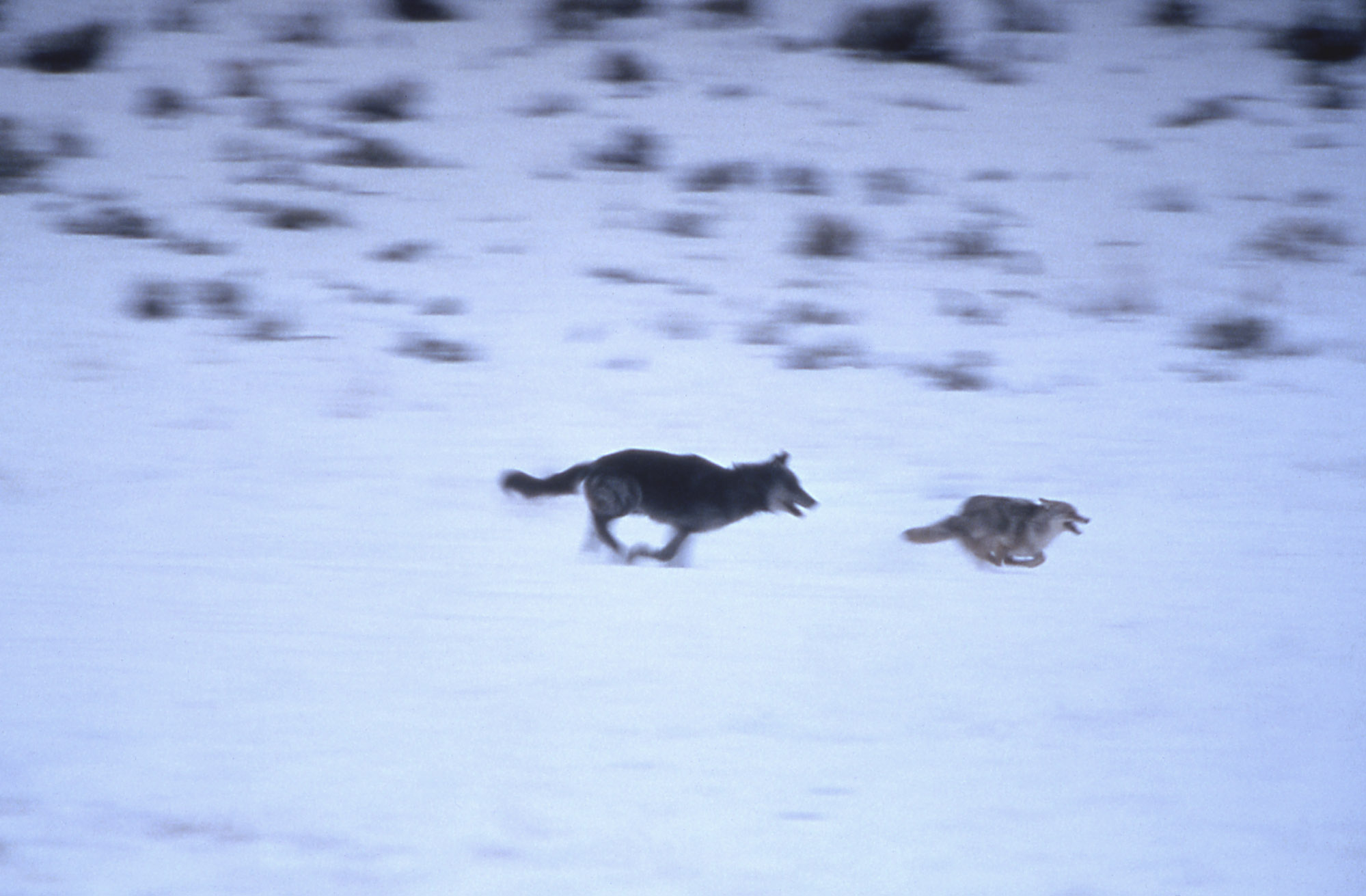 Wolf chasing coyote (National Park Service)