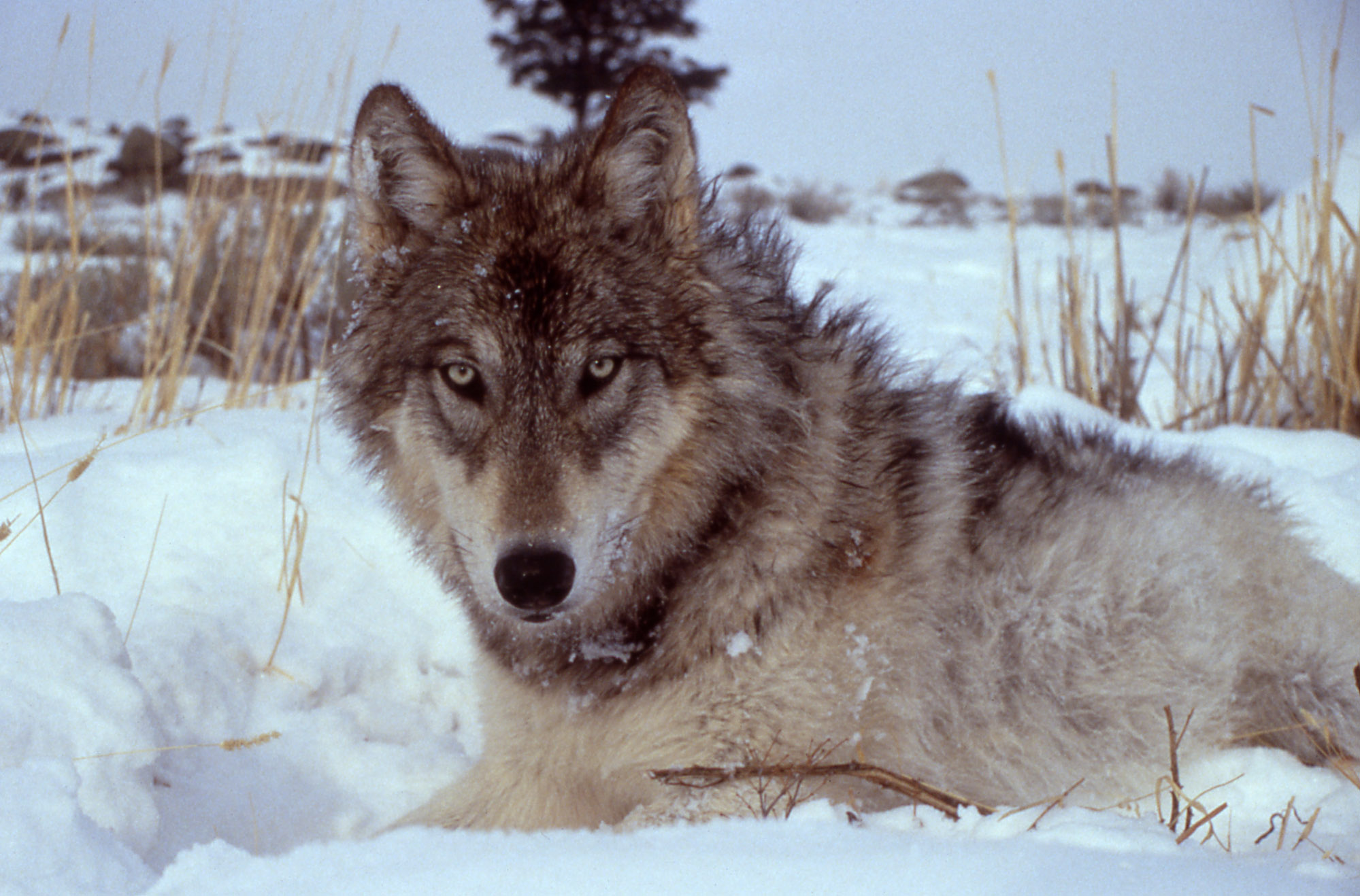 How To Draw A Wolf Body Image Credit Doug Smith,