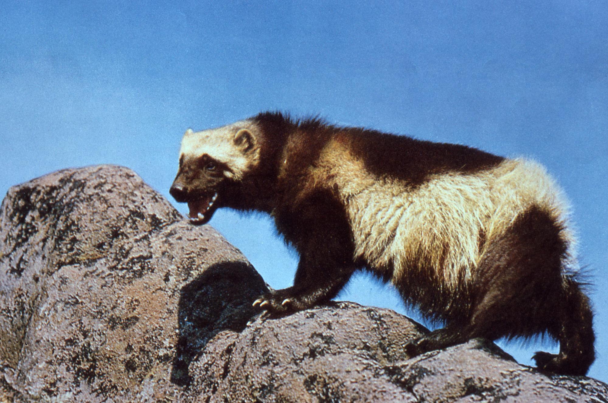 Wolf Eats Lynx