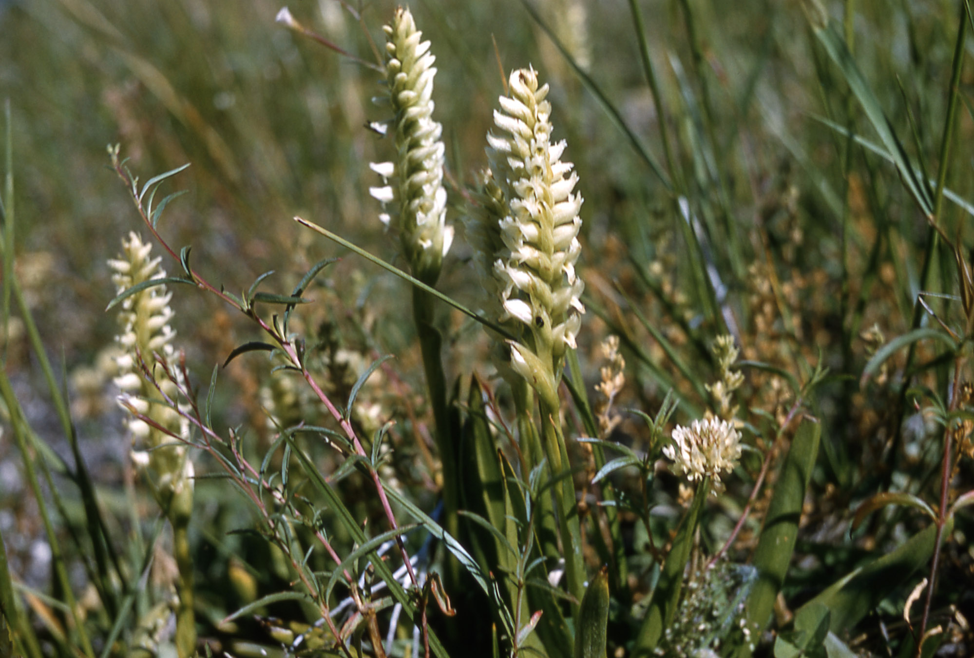 Irish lady's-tresses orchids