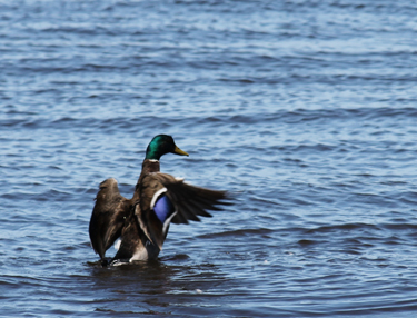 Mallard on Great South Bay