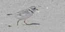 Piping Plover on sandy beach.