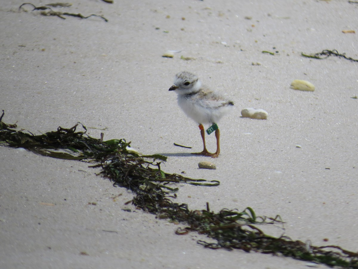 A tiny baby shorebird stands on the beach