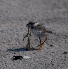 Plover chick on beach.