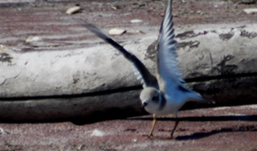 Piping plover spreads wings to fly.