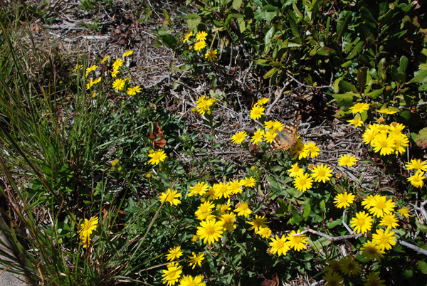 Painted Lady butterfly on Goldenaster flowers