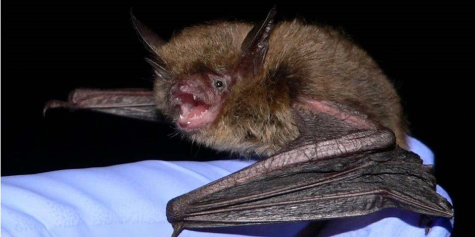 Northern Long-eared Bat-USFWS Photo