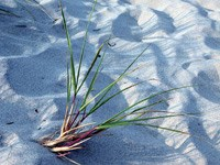 Beach grass leaves protrude from sand.