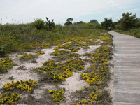Yellow beach heather flowers beside boardwalk.