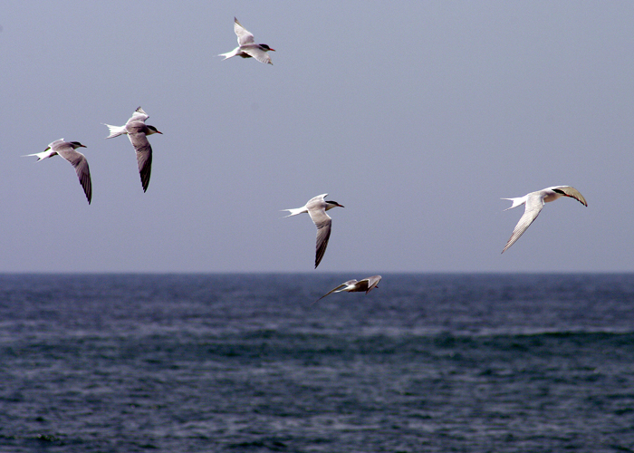Terns fly gracefully over the ocean