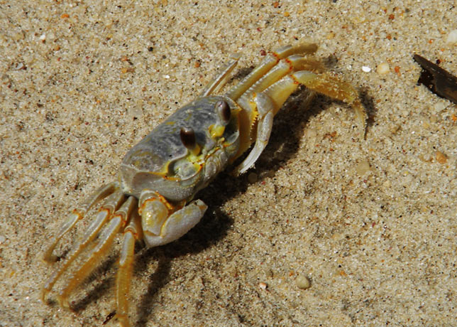 A ghost crab on the upper beach