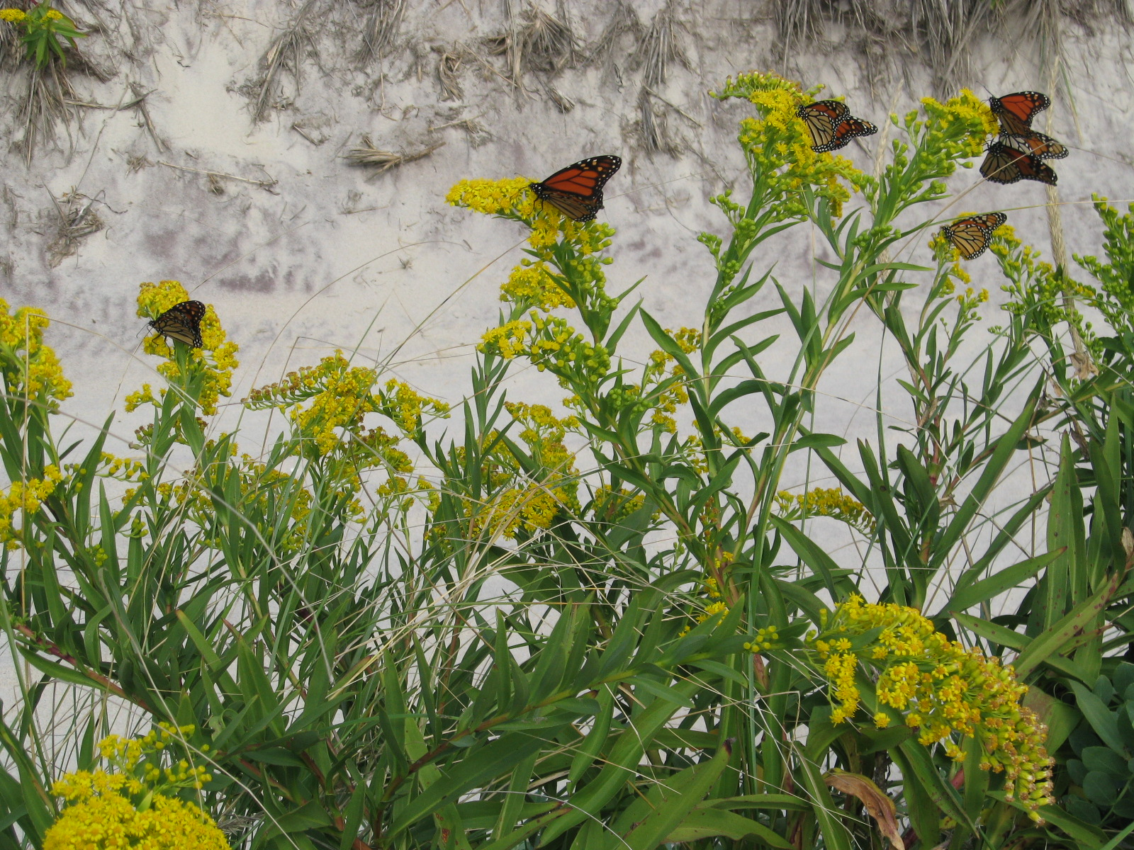 Monarchs rest on goldenrod.