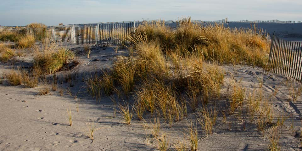 View of American beachgrass covered dunes.