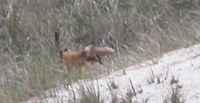 Reddish fox running into dense grass.