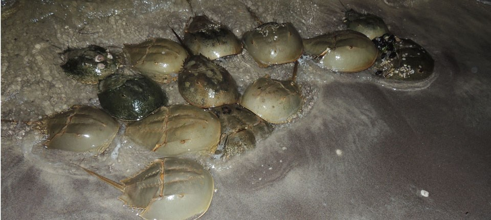 Horseshoe crabs come to shore to spawn by the light of the full moon