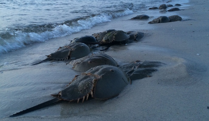 Horseshoe crabs line the bay beach near the water during spawning.