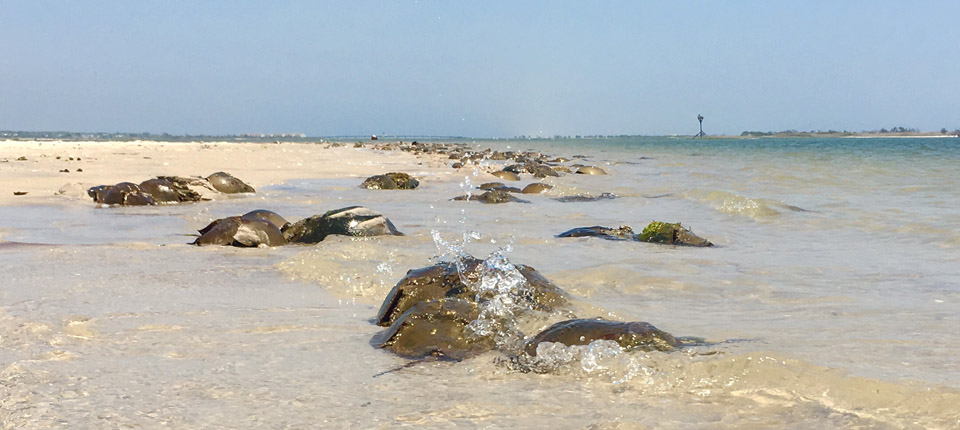 Horseshoe crabs line the bay shoreline during spawning season.