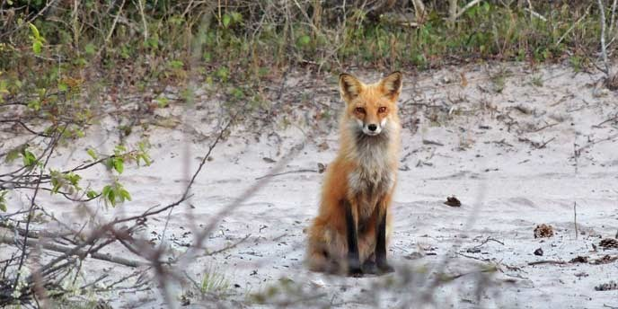 An adult red fox sits alert in the back dune habitat