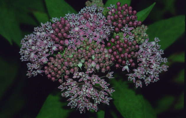 Common millkweed (Asclepias syriaca) in bloom.