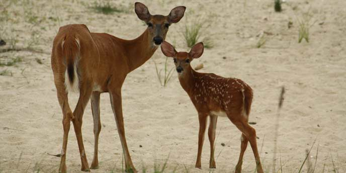 Mother-and-Baby-Christine-Dumont-2011-Fire-Island-National-Seashore-Wildlife-Photo-Contest-Entry